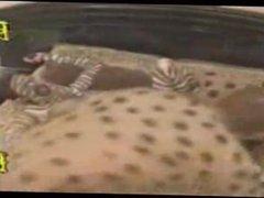 Hyenas Attack vidz Zebra!